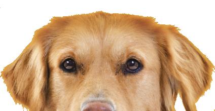 gos groc